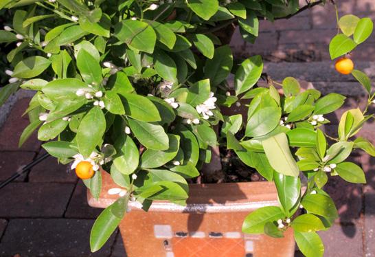 Mandarinenbäumchen